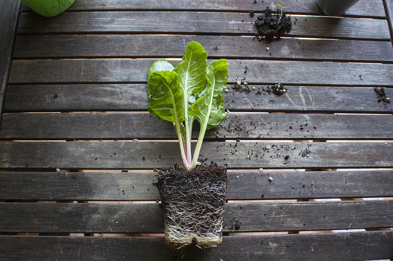 vegetable seedling with roots showing