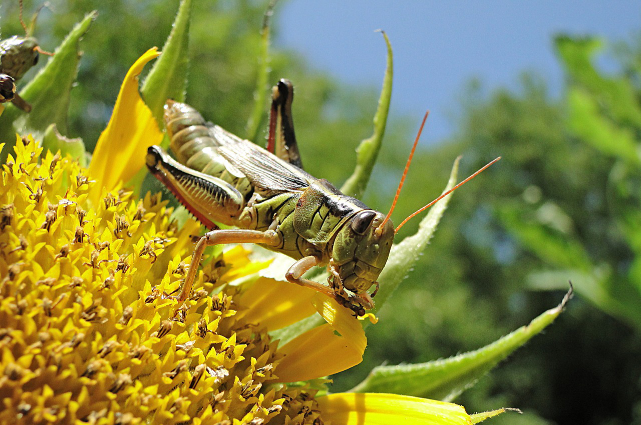 grasshopper on a sunflower representing garden pests